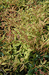 Gulf Stream Dwarf Nandina (Nandina domestica 'Gulf Stream') at Martin's Home and Garden