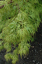 Seiryu Japanese Maple (Acer palmatum 'Seiryu') at Martin's Home & Garden