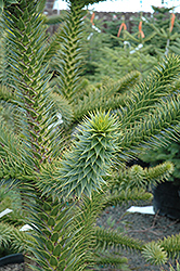 Monkey Puzzle Tree (Araucaria araucana) at Martin's Home and Garden
