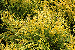 Golden Mop Falsecypress (Chamaecyparis pisifera 'Golden Mop') at Martin's Home & Garden