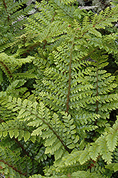 Japanese Tassel Fern (Polystichum polyblepharum) at Martin's Home and Garden