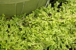 Golden Spikemoss (Selaginella kraussiana 'Aurea') at Martin's Home & Garden