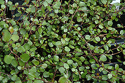 Wire Vine (Muehlenbeckia complexa) at Martin's Home and Garden