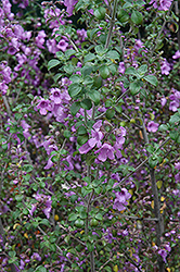 Round Leafed Mint Bush (Prostanthera rotundifolia) at Martin's Home and Garden