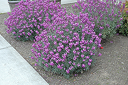 Bowles Mauve Wallflower (Erysimum 'Bowles Mauve') at Martin's Home & Garden