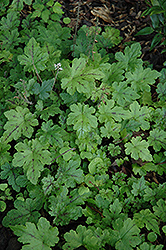 Happy Trails Foamflower (Tiarella 'Happy Trails') at Martin's Home and Garden