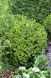 Winter Gem Boxwood (Buxus microphylla 'Winter Gem') at Martin's Home & Garden