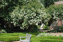 Natchez Crapemyrtle (Lagerstroemia 'Natchez') at Martin's Home and Garden