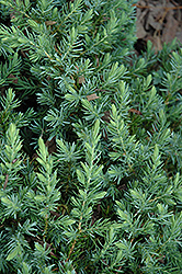 Blue Pacific Shore Juniper (Juniperus conferta 'Blue Pacific') at Martin's Home & Garden
