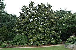 Edith Bogue Magnolia (Magnolia grandiflora 'Edith Bogue') at Martin's Home and Garden