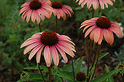Big Sky Summer Sky Coneflower (Echinacea 'Big Sky Summer Sky') at Martin's Home & Garden