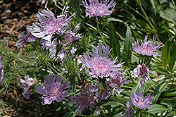 Blue Danube Aster (Stokesia laevis 'Blue Danube') at Martin's Home and Garden