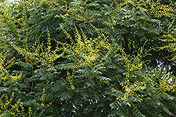 Golden Rain Tree (Koelreuteria paniculata) at Martin's Home & Garden
