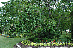 Weeping Mulberry (Morus alba 'Pendula') at Martin's Home and Garden