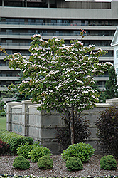 Flowering Dogwood (Cornus florida) at Martin's Home & Garden