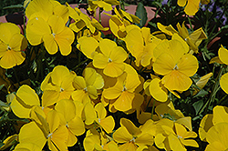 Mimosa Yellow Pansy (Viola 'Mimosa Yellow') at Martin's Home and Garden