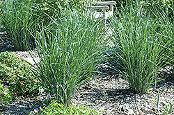 Cloud Nine Switch Grass (Panicum virgatum 'Cloud Nine') at Martin's Home & Garden