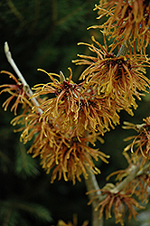 Jelena Witchhazel (Hamamelis x intermedia 'Jelena') at Martin's Home and Garden