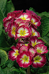 Supernova Rose Bicolor Primrose (Primula 'Supernova Rose Bicolor') at Martin's Home & Garden
