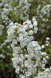 Bridalwreath Spirea (Spiraea prunifolia) at Martin's Home and Garden