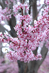 Eastern Redbud (Cercis canadensis) at Martin's Home and Garden