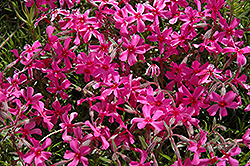 Scarlet Flame Moss Phlox (Phlox subulata 'Scarlet Flame') at Martin's Home and Garden