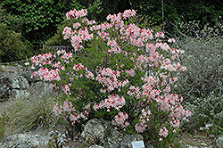 Western Azalea (Rhododendron occidentale) at Martin's Home & Garden