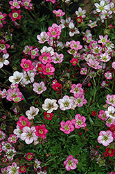 Purple Robe Saxifrage (Saxifraga x arendsii 'Purple Robe') at Martin's Home & Garden