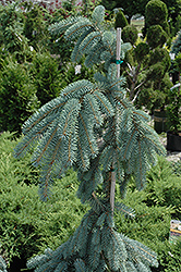 The Blues Colorado Blue Spruce (Picea pungens 'The Blues') at Martin's Home and Garden