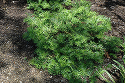 Prostrate Japanese Plum Yew (Cephalotaxus harringtonia 'Prostrata') at Martin's Home and Garden