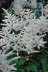 Deutschland Astilbe (Astilbe japonica 'Deutschland') at Martin's Home and Garden