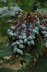 Oregon Grape (Mahonia aquifolium) at Martin's Home & Garden