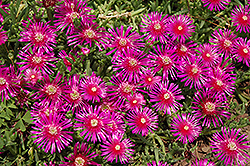 Purple Ice Plant (Delosperma cooperi) at Martin's Home and Garden