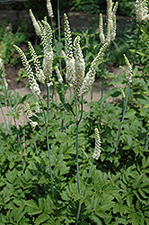 American Bugbane (Cimicifuga racemosa) at Martin's Home and Garden