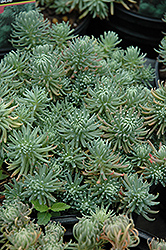 Oracle Stonecrop (Sedum forsterianum 'Oracle') at Martin's Home and Garden
