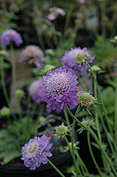 Blue Note Pincushion Flower (Scabiosa 'Blue Note') at Martin's Home and Garden
