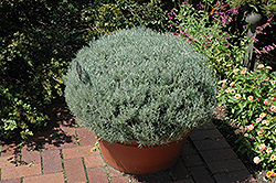 Curry Plant (Helichrysum italicum) at Martin's Home & Garden