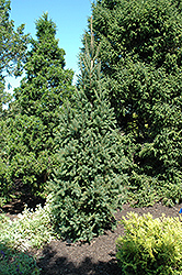 Columnar Norway Spruce (Picea abies 'Cupressina') at Martin's Home and Garden