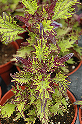 Stained Glassworks Witch Doctor Coleus (Solenostemon scutellarioides 'Witch Doctor') at Martin's Home and Garden