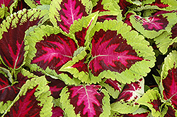 Kong Rose Coleus (Solenostemon scutellarioides 'Kong Rose') at Martin's Home and Garden