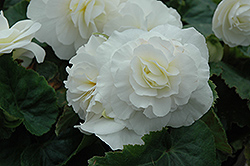 Nonstop® White Begonia (Begonia 'Nonstop White') at Martin's Home & Garden