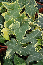 Yellow Ripple Ivy (Hedera helix 'Yellow Ripple') at Martin's Home & Garden