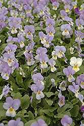 Sorbet Blueberry Cream Pansy (Viola 'Sorbet Blueberry Cream') at Martin's Home and Garden