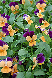 Sorbet Orange Duel Pansy (Viola 'Sorbet Orange Duet') at Martin's Home and Garden