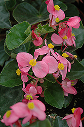BabyWing® Pink Begonia (Begonia 'BabyWing Pink') at Martin's Home and Garden