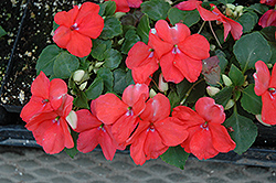 Envoy Salmon Impatiens (Impatiens 'Envoy Salmon') at Martin's Home and Garden