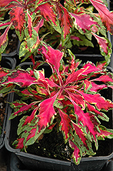 Pink Chaos Coleus (Solenostemon scutellarioides 'Pink Chaos') at Martin's Home and Garden