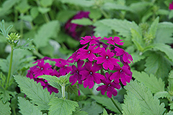 Superbena® Purple Verbena (Verbena 'Superbena Purple') at Martin's Home & Garden