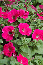 Piccola Hot Pink Petunia (Petunia 'Piccola Hot Pink') at Martin's Home & Garden