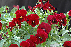 Red Selection Pansy (Viola 'Red Selection') at Martin's Home & Garden